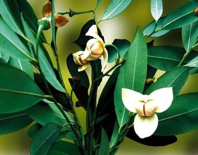 Romduol - fleurs